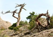 Withered juniper tree on sky background Stock Image