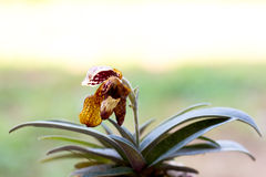 Withered lady slipper orchid Royalty Free Stock Photos