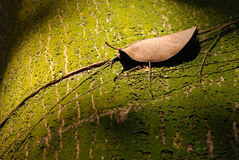 Withered leaf. On the trunk Royalty Free Stock Photo