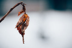 Withered leaf. On a branch Stock Images