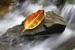 Withered leaf on stone. In water stream Royalty Free Stock Photos