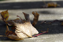 Withered leaf, transience in brown and gray. Withered leaf on the Street, metaphor for the end of life and transience  in brown and gray Stock Photography
