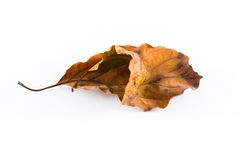 Withered leaves. Royalty Free Stock Image