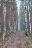 Withered leaves and alley in a birch forest Stock Images