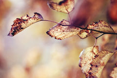 Withered leaves on the branches of hawthorn. Royalty Free Stock Images