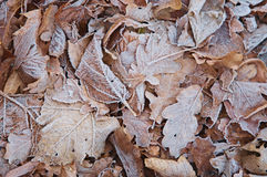 Withered leaves frost texture Stock Photos