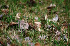 Withered leaves on grass Royalty Free Stock Image