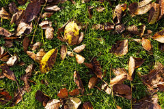 Withered leaves on my lawn Stock Photo