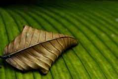 Withered and Living leaf. A piece of dried withered leaf sitting on a green leaf Royalty Free Stock Images