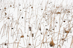 Withered lotus. On ice after snow Stock Photos