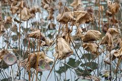 Withered lotus, adobe rgb royalty free stock photography