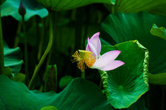 Withered lotus Stock Image