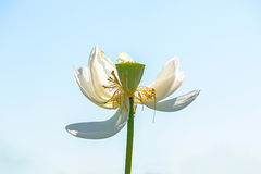 Withered lotus Royalty Free Stock Photos