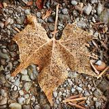 Withered Maple Leaf Stock Images