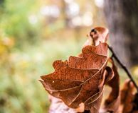 Withered oak leaf in autumn against very fuzzy background stock photos