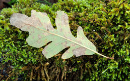 Withered oak leaf placed on moss Royalty Free Stock Images