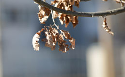 Withered oak leaves Stock Photo
