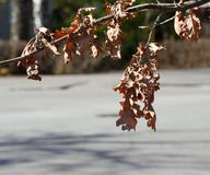 Withered oak leaves Royalty Free Stock Photo
