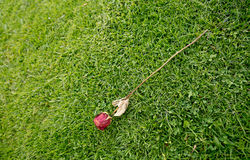 Withered old rose lying alone on grass Royalty Free Stock Photography