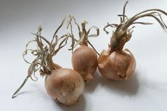 Withered onions Stock Photos