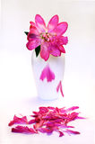 Withered peony Royalty Free Stock Photography