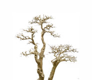 Withered pine tree  on Old antique vintage paper Stock Photo