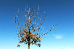 Withered pine tree. Wilted pine tree in winter against blue sky Royalty Free Stock Photography