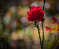 Withered pink rose. Stock Image