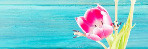 Withered pink tulips in a white vase on a blue wooden background royalty free stock image