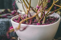 Withered plant with purple leaves in white porcelain pot Stock Photo