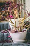 Withered plant with purple leaves in white porcelain pot Royalty Free Stock Photo