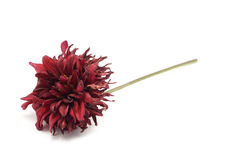 Withered red flower Stock Image