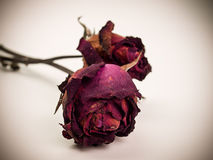 Withered red rose. Beauty death flower. Stock Photo