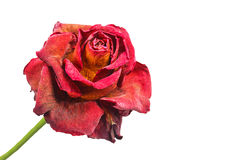 Withered red rose Royalty Free Stock Images