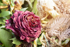 Withered red rose Royalty Free Stock Photography