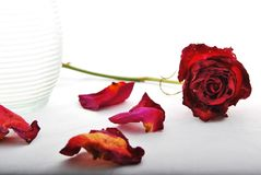 Withered red rose with rose petals and glass vase. A withered red rose lies next to a glass vase with rose petals scattered around royalty free stock photo