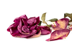 Withered rose Stock Photos