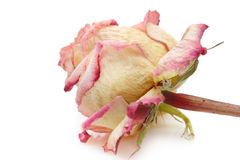 Withered rose Stock Photography