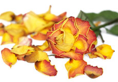 Withered rose. And colorful petals isolated on white Stock Image