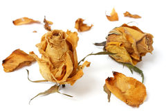 Withered Rose Royalty Free Stock Images
