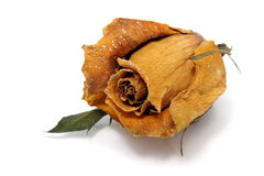 Withered Rose Royalty Free Stock Image