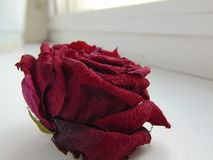 Withered rose. Royalty Free Stock Photos