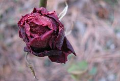 A withered rose Stock Photo