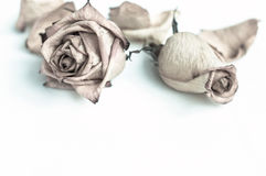 Withered rose. Dried flowers and petals of roses on a white background Royalty Free Stock Photos