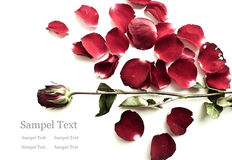 Withered rose with falling petals. Withered rose with falling petals isolated on white Royalty Free Stock Images