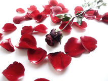 Withered rose with falling petals. Withered rose with falling petals isolated on white Royalty Free Stock Image