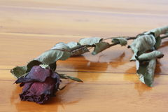 Withered rose flower Royalty Free Stock Images