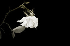 Withered rose. Isolated on black background Royalty Free Stock Photos