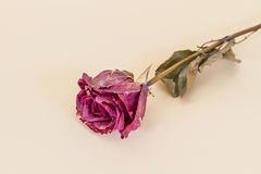 Withered rose. Made in studio with fill flash Stock Photo