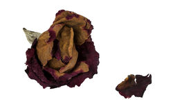 A withered rose and one petal Royalty Free Stock Photo